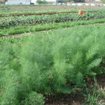 fennel rows
