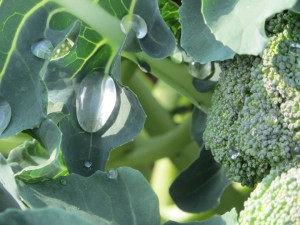 broccoli raindrops1